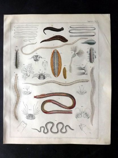 Oken 1843 HCol Print. Sea Worms, Marine Life 08